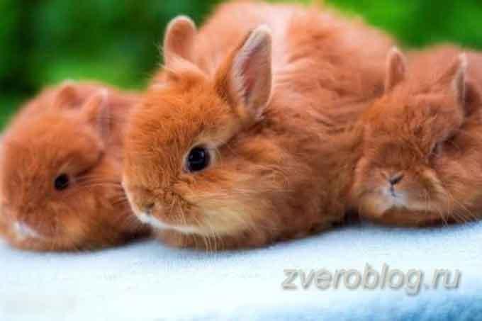 Семья декоративных кроликов - карликовая лиса