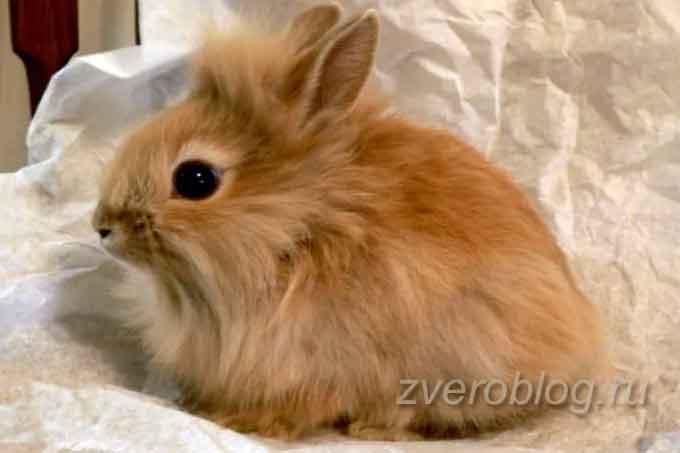 Карликовая лиса - милый рыжий кролик