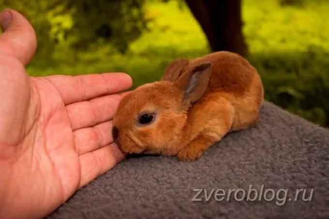 Порода декоративных кроликов Карликовый рекс