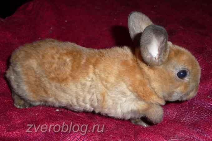 Порода жекоративных кроликов Карликовый рекс
