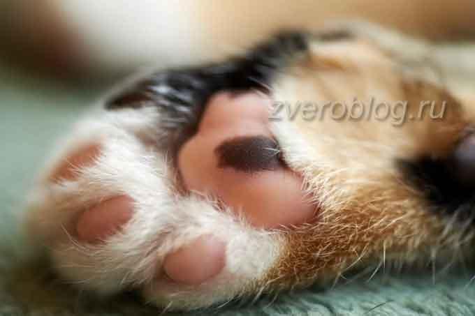 «Мягкие лапки»: Нужно ли кошке проводить операцию по удалению когтей? Вред онихэктомии,