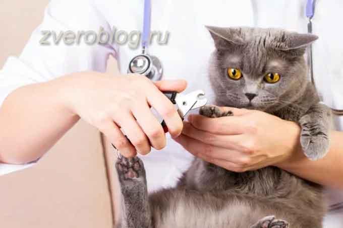 Операция по удалению когтей у кошки