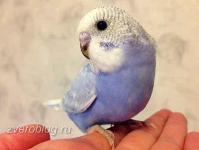 У молодых волничтых попугаев клюв темный и зрачки черные