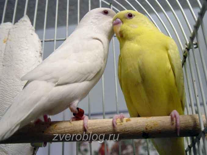 Волнисные попугаи - альбинос и лютинос