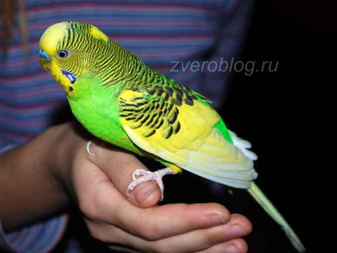 Взрослый самей волнистого попугайчика