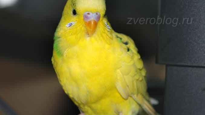 Желтый волнистый попугайчик