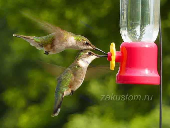 Птичка колибри как домашний питомец
