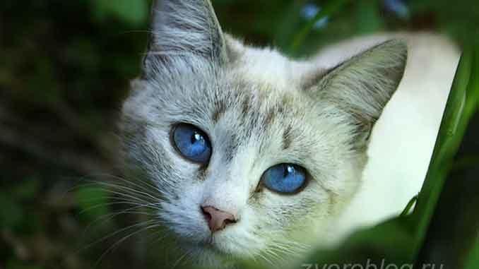 Серая кошка с голуюыми глазами