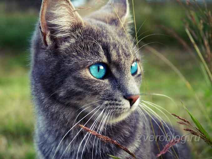 Серая кошечка с голубыми глазами на природе