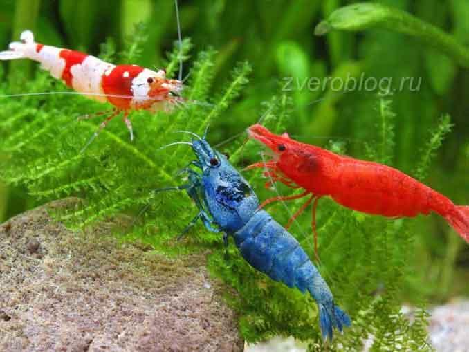 Яркие креветки в аквариуме