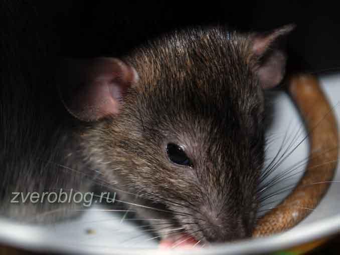 Крыса серая живая