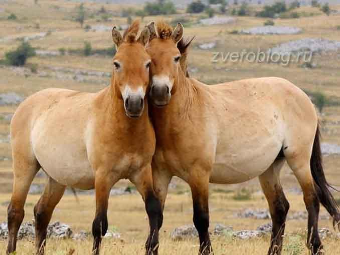 Лошадь Пржевальского. - единственная живая порода дикой лошади в мире