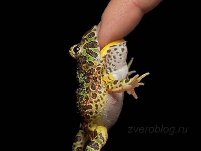 Тропический вид лягушки кусается