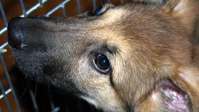 Щенок овчарки - обоняние собак