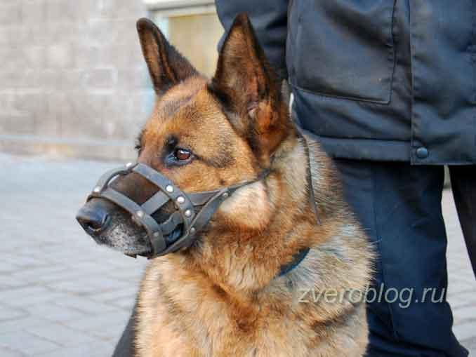 Использование обоняния собак: овчарка на службе у человека