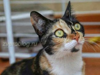 трехцветная кошка - умня и послушная