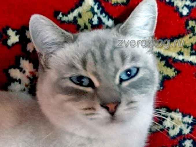 Красивая серая кошка с голубыми глазами