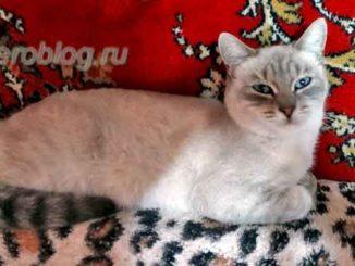 Красивая серая кошка с голубыми глазами дежит на диване