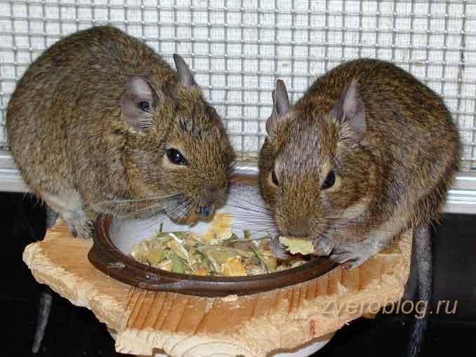 Белки дегу - пара питомцев кушает