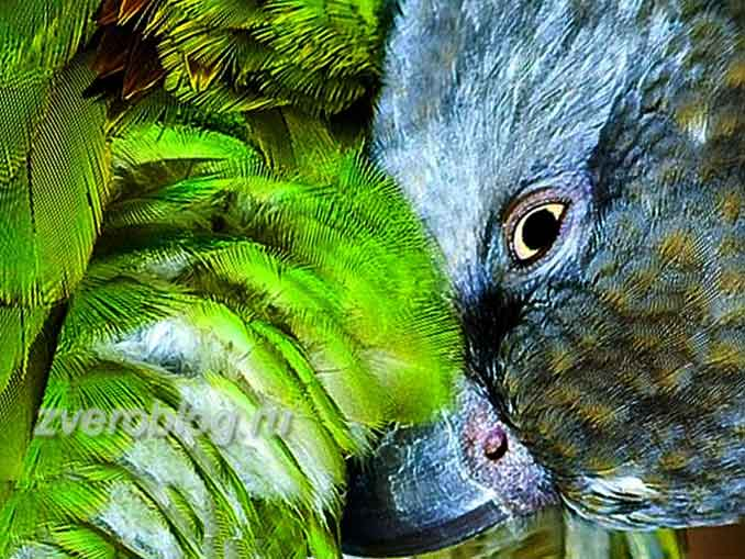Сенегальский длиннокрылый попугай - особенности содержания и ухода