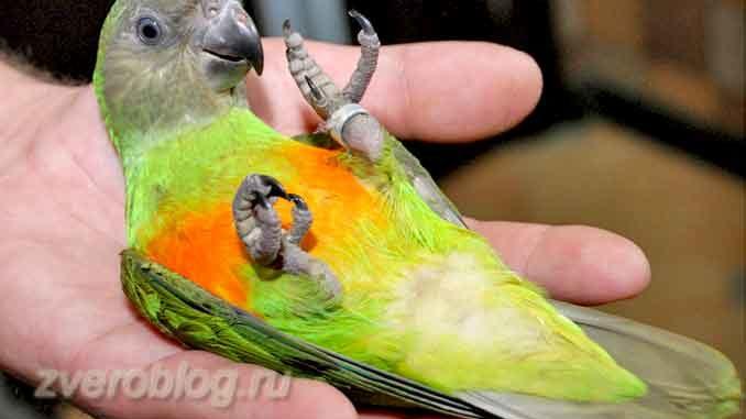 Сенегальский длиннокрылый попугай: содержание в домашних условиях