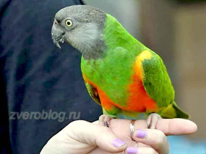 Домашний сенегальский длиннокрылый попугай - содержание необычного питомца