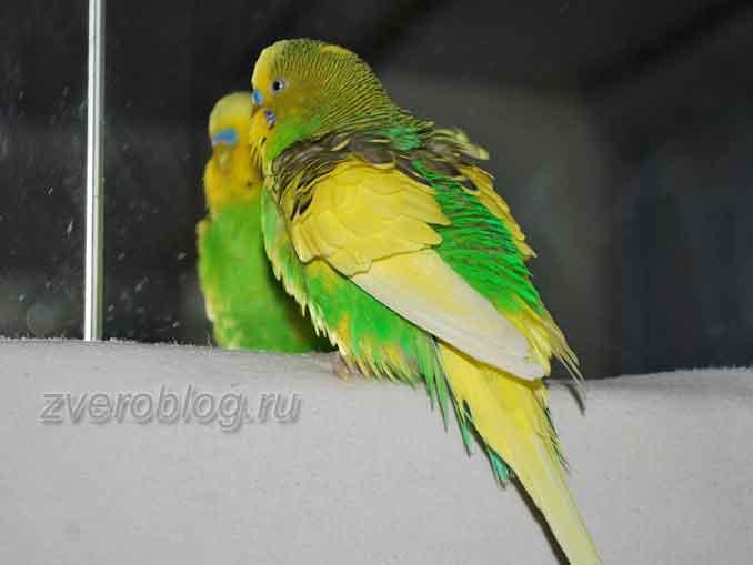 Забвная история из жизни о волнистом попугайчике