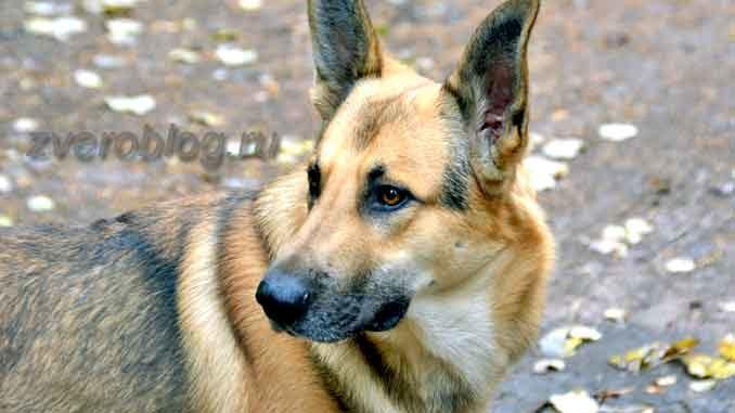 Собака овчарка - красивый пес