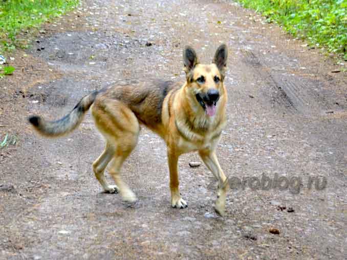 Пес бежит по дороге - красивый кобель