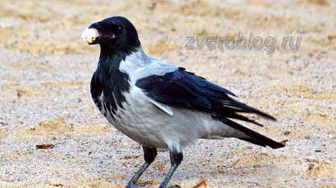 Серая ворона держит что-то в клюве