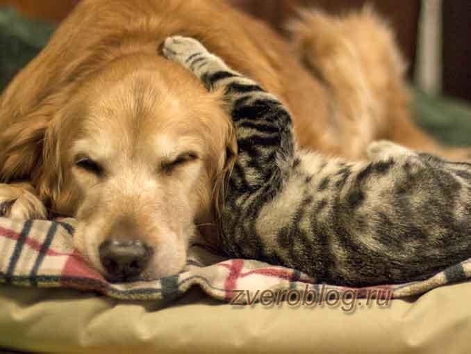 Из жизни питомцев - собака играет с кошкой