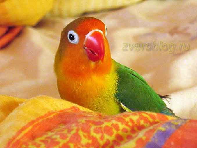 Попугай неразлучник Фишера