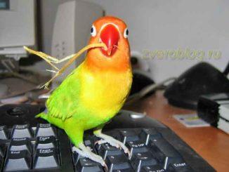 История о попугае - неразлучнике Фишера