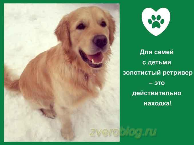 Порода собаки золотисный голден ретривер - находка для семьи с детьми