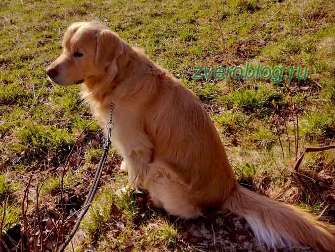 Порода собаки золотисный голден ретривер на прогулке