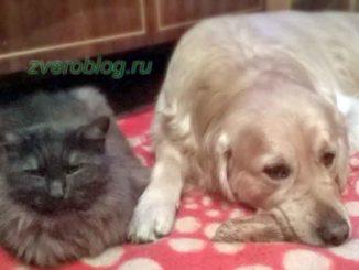 Золотой ретривер - собака и кот