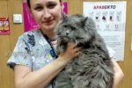 Красивый серый кот в кбинете у стомотолога в ветеринарной клинике Добрые руки