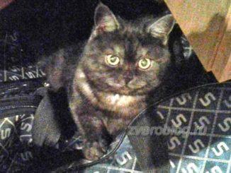 Кошка британской породы - история из жизни
