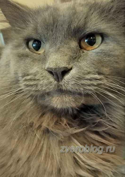 Красивый пушистый серый кот