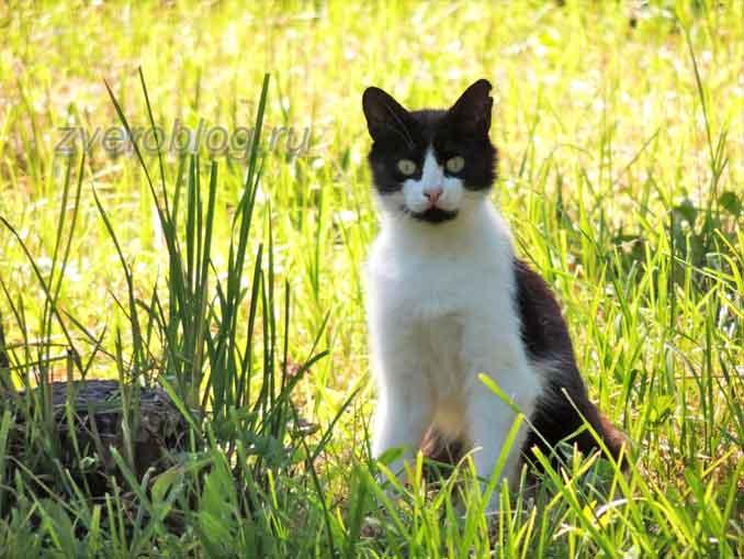 Красивыя черно-белая кошка на природе