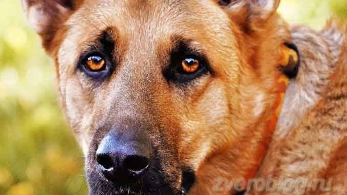 Взгляд собаки овчарки
