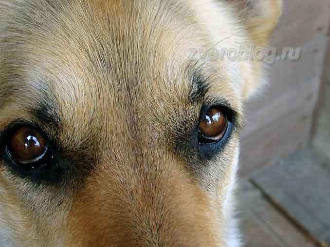 Взгляд собаки - верный и преданный