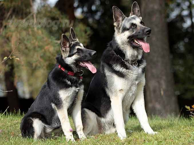 Две собаки восточно европейские овчарки