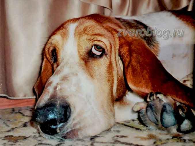 Пес породы Бассет-хаунд под столом