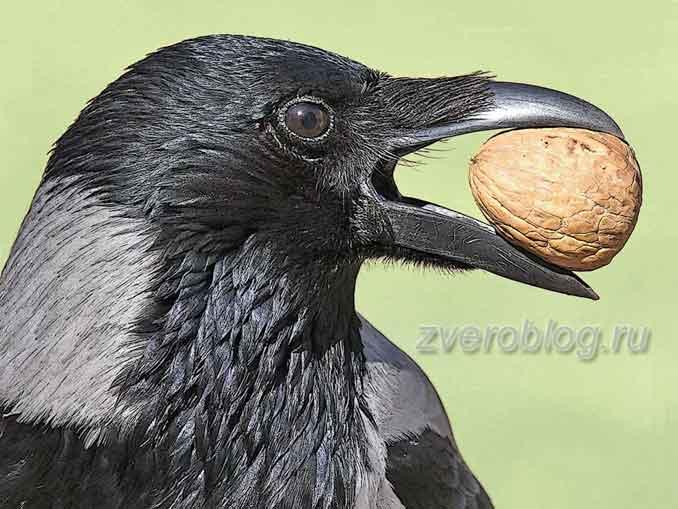 Ворона держит к клюве грецкий орех