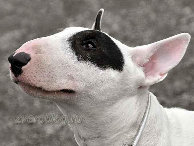Бультерьер - бойцовская порода собак