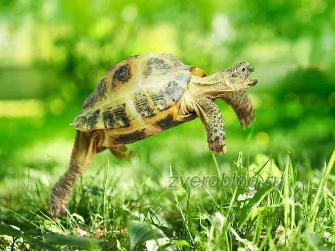 Шустрая сухопутная черепаха бегает по траве