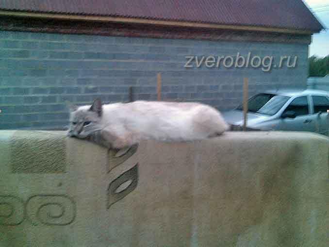 Кашк лежит на заборе