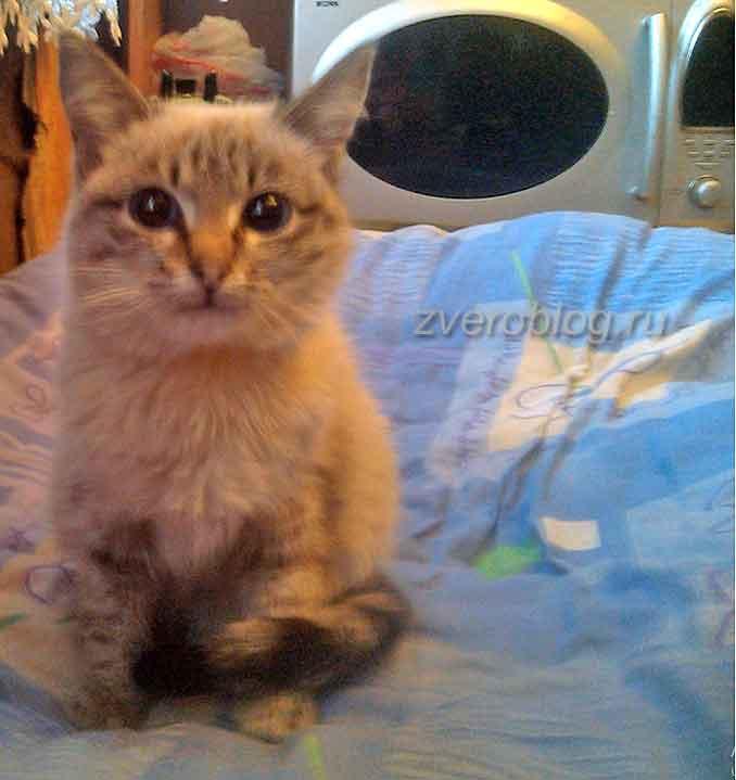 История удивительной кошечки с синими глазами