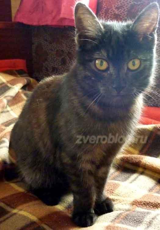 Красивый серый котенок или молодой кот